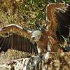Parc des Oiseaux - Vautour fauve (Espagne, Afrique saharienne, Moyen-Orient, péninsule arabique)
