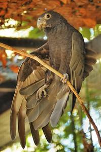 Parc des Oiseaux - Perroquet vaza (Madagascar)