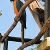 Parc des Oiseaux - Ara bleu (Amérique du Sud)