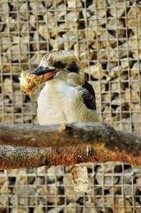 Parc des Oiseaux - Martin-Chasseur géant (Australie)
