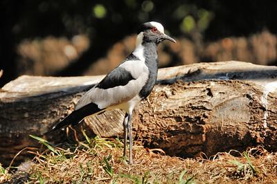 Parc des Oiseaux - Vanneau armé (Sud de l'Afrique)