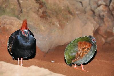 Parc des Oiseaux - Rouloul couronné, mâle et femelle (Péninsule malaise)