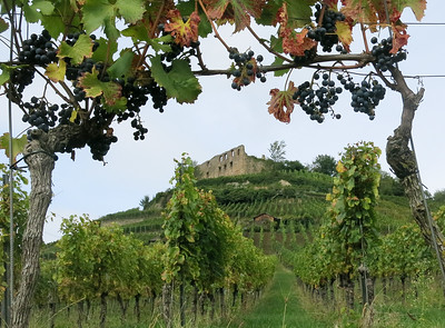 Staufen Castle in Germany and vineyard