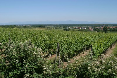 Vineyards, Alsace, near Wuenheim.  Background:  The Schwarzwald, in Germany, across the Rhine