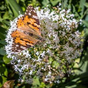 Butterfly in Daubigny's Garden