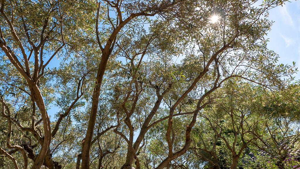 Olive grove in France - Olive trees in France - Olive Oil in France