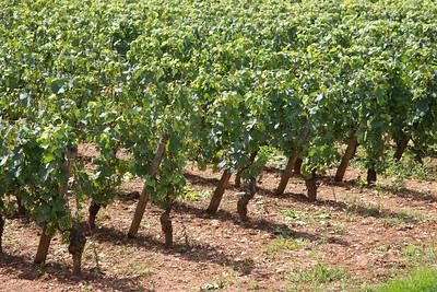 Vineyard near Meursault