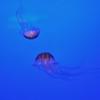 La Rochelle - Aquarium - Méduses striées