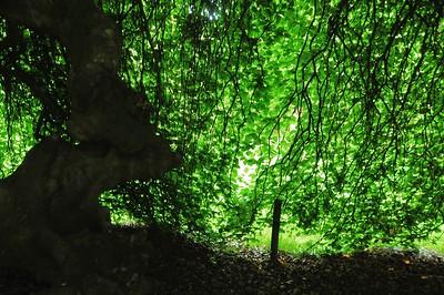 Arborétum du château d'Harcourt - Sous les hêtres tortillards