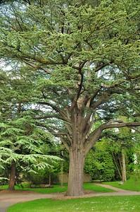 Arboréteum du château d'Harcourt - Cèdre du Liban