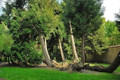 Arborétum du château d'Harcourt - Thuya géant (Ouest des Etats-Unis)