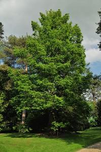 Arboréteum du château d'Harcourt - Métaséquoia