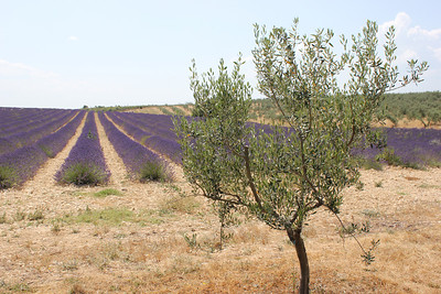 Valensole & Lavender Fields
