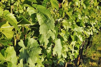 Dans les vignes d'Hunawihr, dans l'attente des grappes...