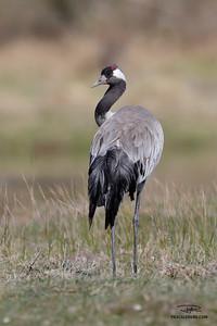 Grue cendrée/Common crane