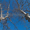 Plane Trees in Winter against a deep blue sky