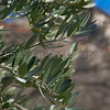 Olive tree growing in France