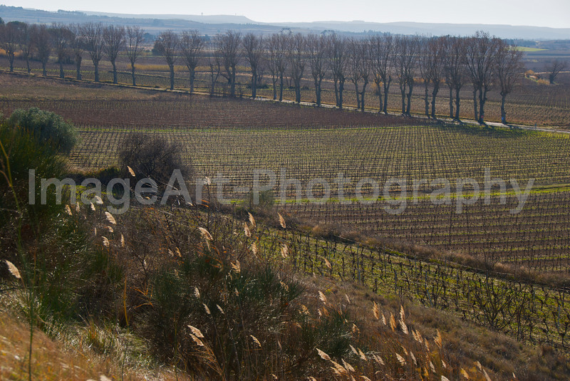 A row of Plane Trees provides a windbreak in this vineyard