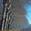 A long line of Plane trees edge a field in France