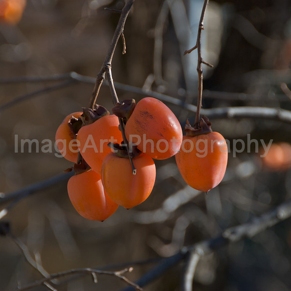 Persimmon growing in France