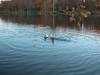 Lake Christus Ducks 01