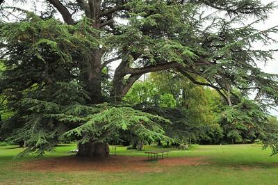 Parc du château de Selles-sur-Cher - Le cèdre du Liban, classé arbre remarquable