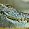 Martel - Reptiland - Crocodile du Nil (Afrique, Madagascar)