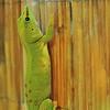 Martel - Reptiland - Gecko diurne malgache (Madagascar)