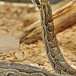 Martel - Reptiland - Python de Sebae (Afrique subsaharienne et �quatoriale)