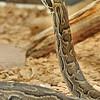 Martel - Reptiland - Python de Sebae (Afrique subsaharienne et équatoriale)
