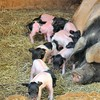 Parc animalier de Gramat - Porc limousin