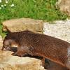 Parc animalier de Gramat - Loutre d'Europe