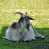 Parc animalier de Gramat - Chèvre des Pyrénées