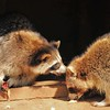 Parc animalier de Gramat - Ratons laveurs