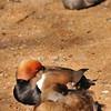 Parc animalier de Gramat - Nette rousse