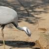 Parc animalier de Gramat - Grue demoiselle