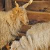 Parc animalier de Gramat - Mouton de Valachie