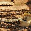 Parc animalier de Gramat - Faisan doré Isabelle