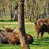 Parc animalier de Gramat - Bœuf d'Ecosse