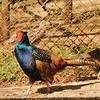 Parc animalier de Gramat - Faisan obscur
