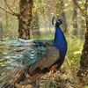 Parc animalier de Gramat - Paon bleu