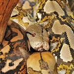 Martel - Reptiland - Python r�ticul� (Asie du Sud-Est, Indon�sie)