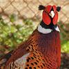 Parc animalier de Gramat - Faisan comun