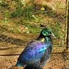 Parc animalier de Gramat - Lophophore resplendissant
