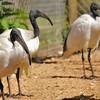 Parc animalier de Gramat - Ibis sacrés