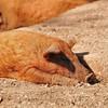 Parc animalier de Gramat - Porc laineux