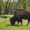 Parc animalier de Gramat - Bison d'Amérique