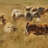 Vaches, race Aubrac
