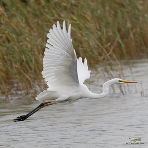 Grande aigrette/Great egret