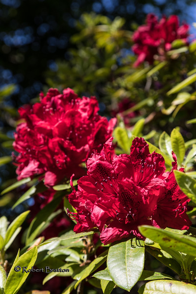 Bright Red Rhododendron